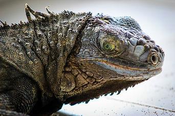 Iguana, Exotic Animal Sanctuary, Vero Beach