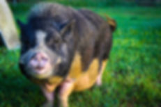Pot Belly Pig, Exotic Animal Sanctuary, Vero Beach