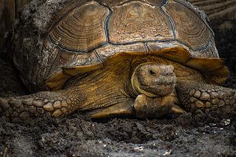 Sulcata Tortoise, Exotic Animal Sanctuary, Vero Beach