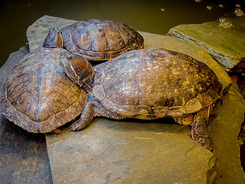 Turtles, Exotic Animal Sanctuary, Vero Beach