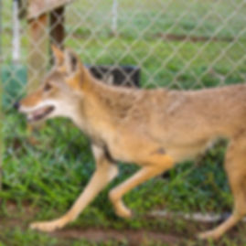Coyote, Exotic Animal Sanctuary, Vero Beach