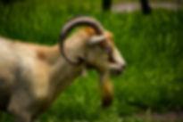 Buck Goat, Exotic Animal Sanctuary, Vero Beach
