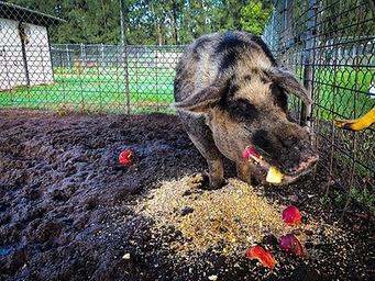 Wild Boar, Exotic Animal Sanctuary, Vero Beach