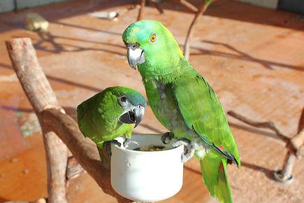 Moluccan Cockatoo Parrot, Exotic Animal Sanctuary, Vero Beach