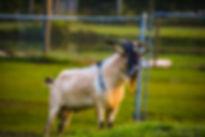 Buck Goat, Exotic Animal Sanctuary Vero Beach