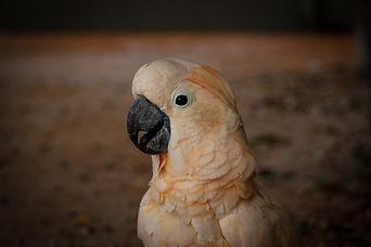 Moluccan Cockatoo, Exotic Animal Sanctuary, Vero Beach