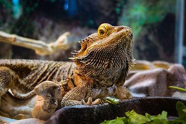 Bearded Dragon, Exotic Animal Sanctuary, Vero Beach