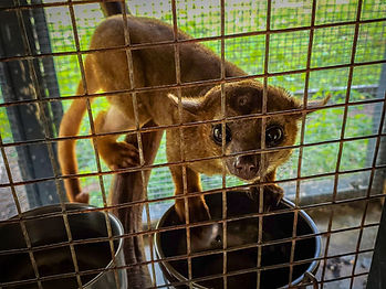 Kinkajou, Exotic Animal Sanctuary, Vero Beach