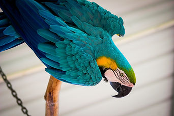 Blue and Gold Macaw, Exotic Animal Sanctuary, Vero Beach