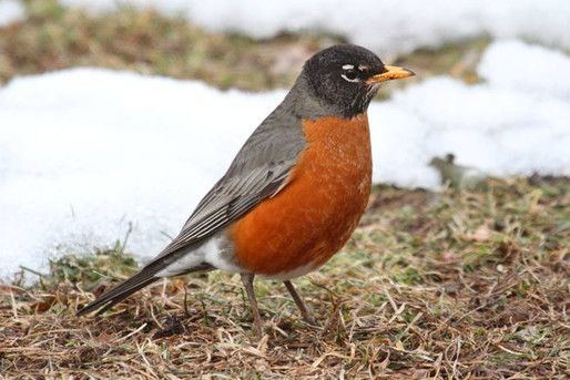 Robin in early spring