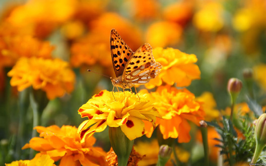 Orange Butterfly and Flowers.jfif