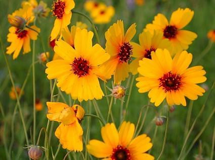 Yellow Field Flowers.jpg