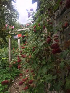 loganberries.jpeg