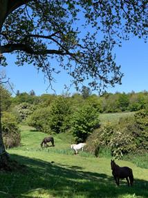 mares grazing evening.jpeg