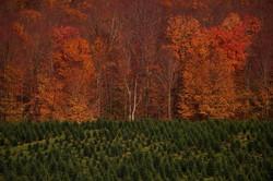 fall tree farm