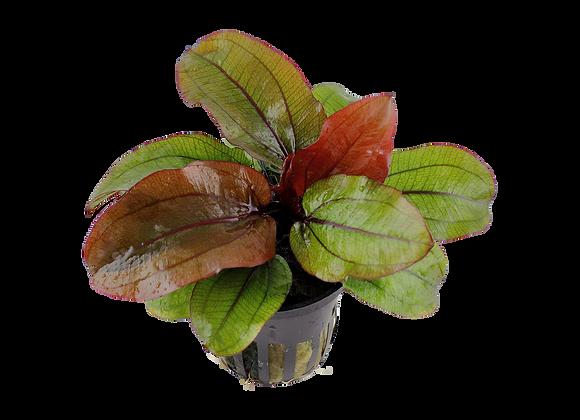 """Echinodorus """"Reni"""""""