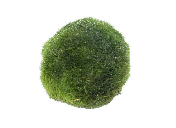 Cladophora aegagropila boules d'algues