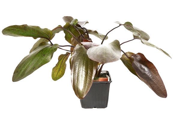 "Echinodorus ""Ozelot"" XL"