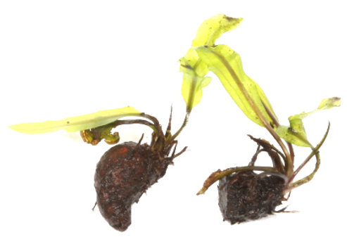 Aponogeton longiplumulosus bulbe