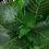 """Thumbnail: Hygrophila """"Compact"""""""