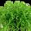 Thumbnail: Micranthemum umbrosum