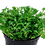 Thumbnail: Glossostigma elatinoides