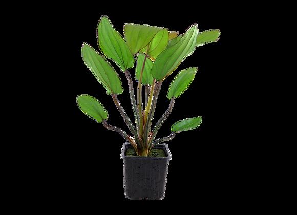 """Echinodorus """"Barthii"""" XL"""