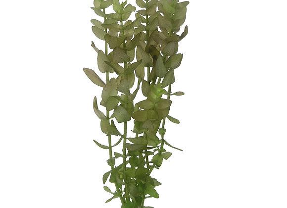 Bacopa carolinia