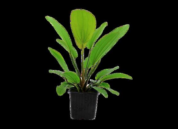 "Echinodorus ""Rosé"" XL"