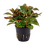 Thumbnail: Ludwigia glandulosa