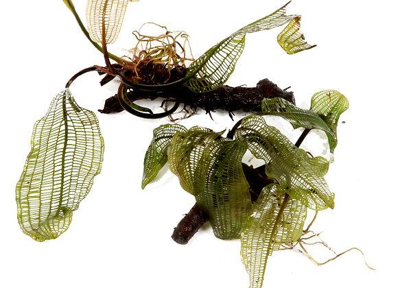 Aponogeton madagascariensis bulbe
