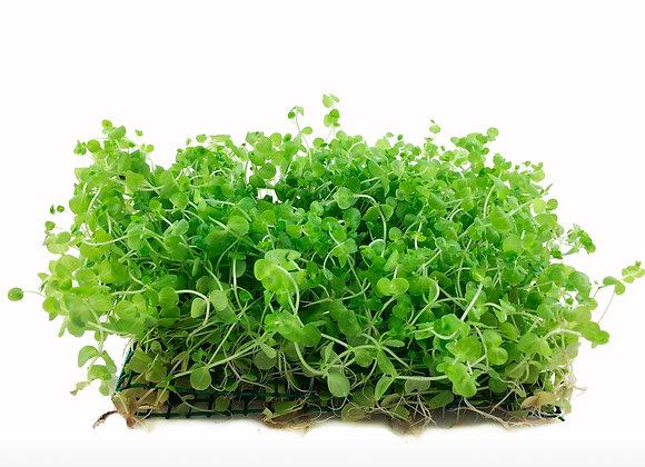 Micranthemum umbrosum pad 9x11cm