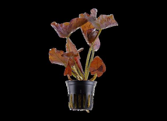 Nymphea lotus