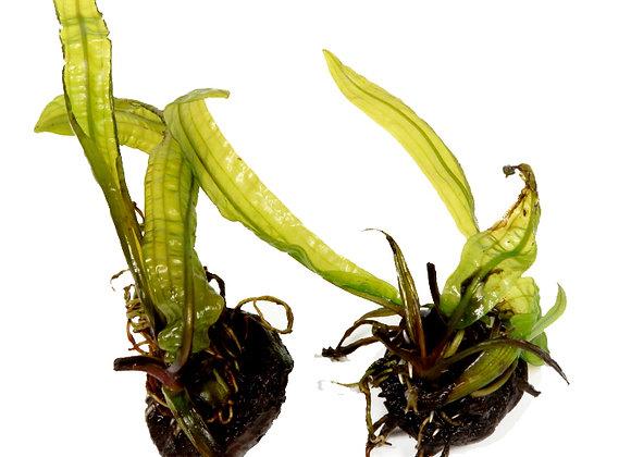 Aponogeton boivinianus bulbe