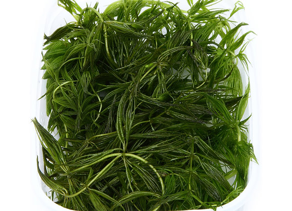 "Ceratophyllum demersum ""Foxtail"" portion"
