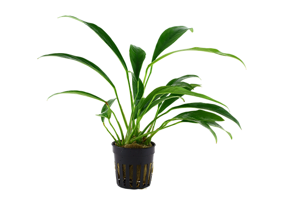 Anubias Barteri var.angustifolia