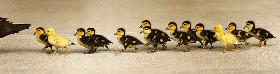1 3L2A8191.jpg Ducks in a row .jpg