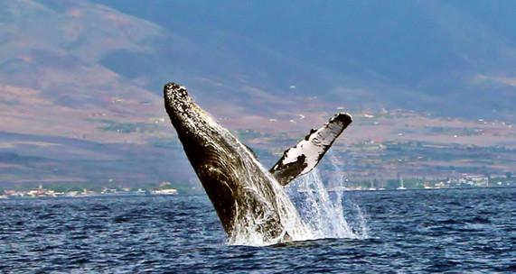 Whale Breach.