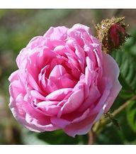 rosa-centifolia-muscosa.jpg