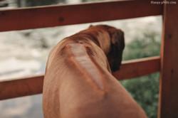 Родезийский риджбек Ричик