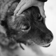 Среднеазиатская овчарка