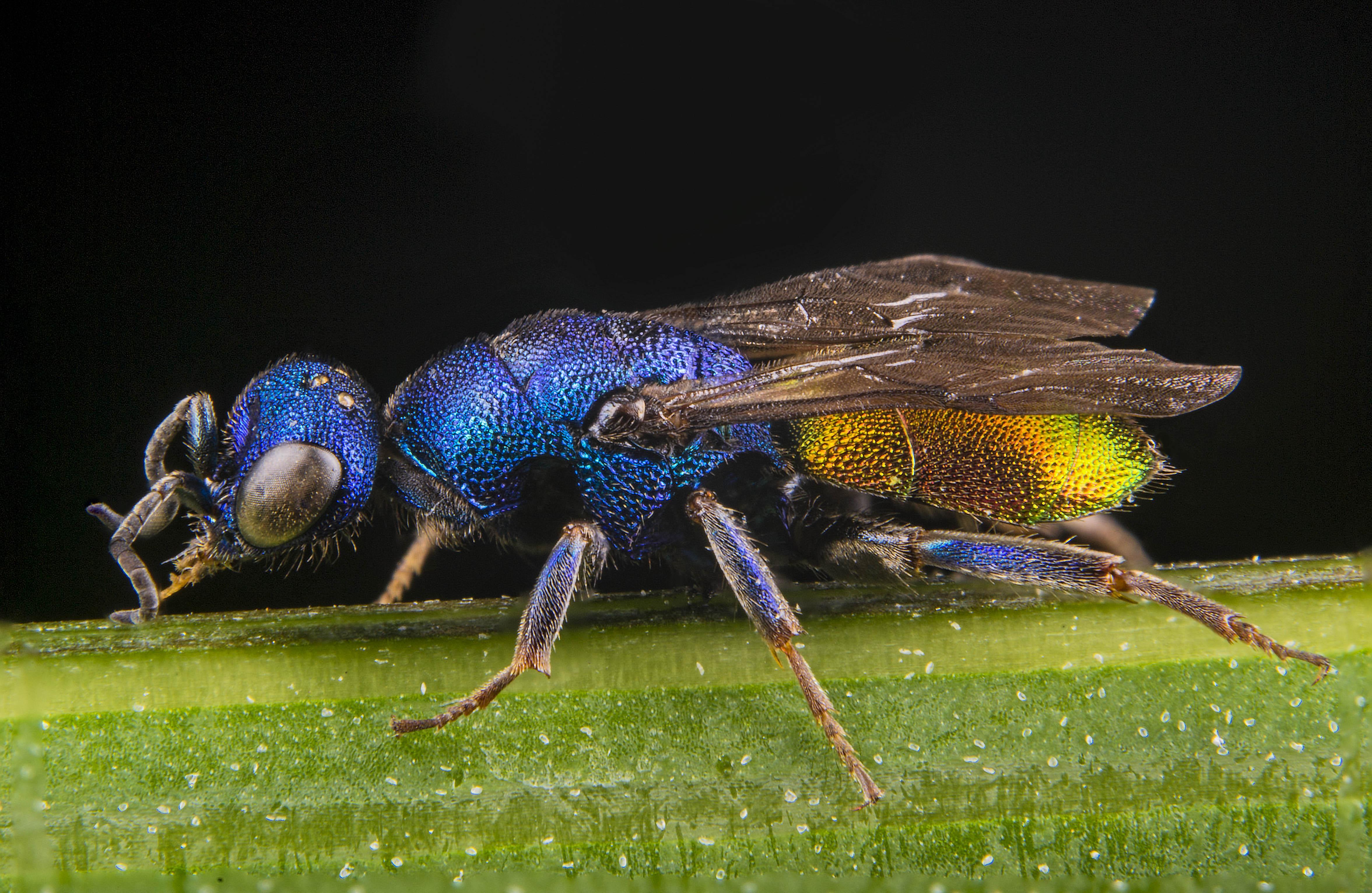 Hedychrum nobile male