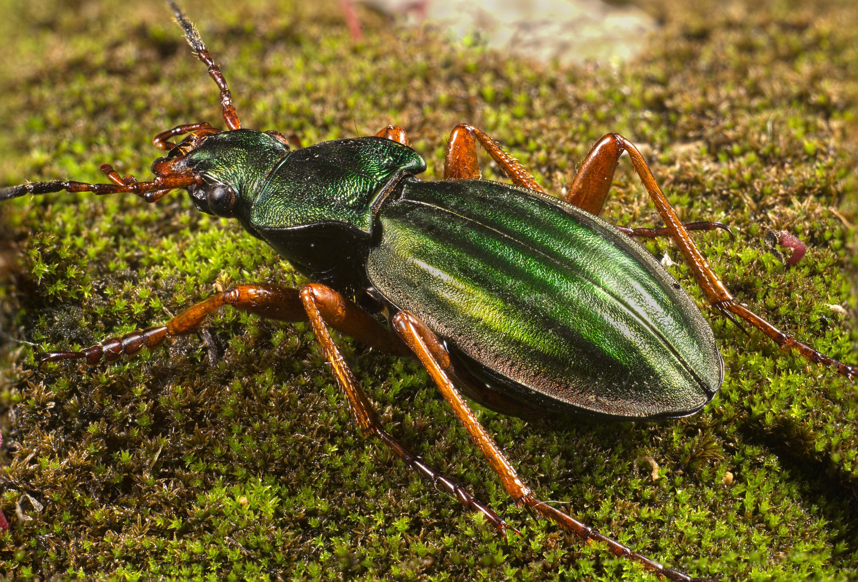 Carabus auratus
