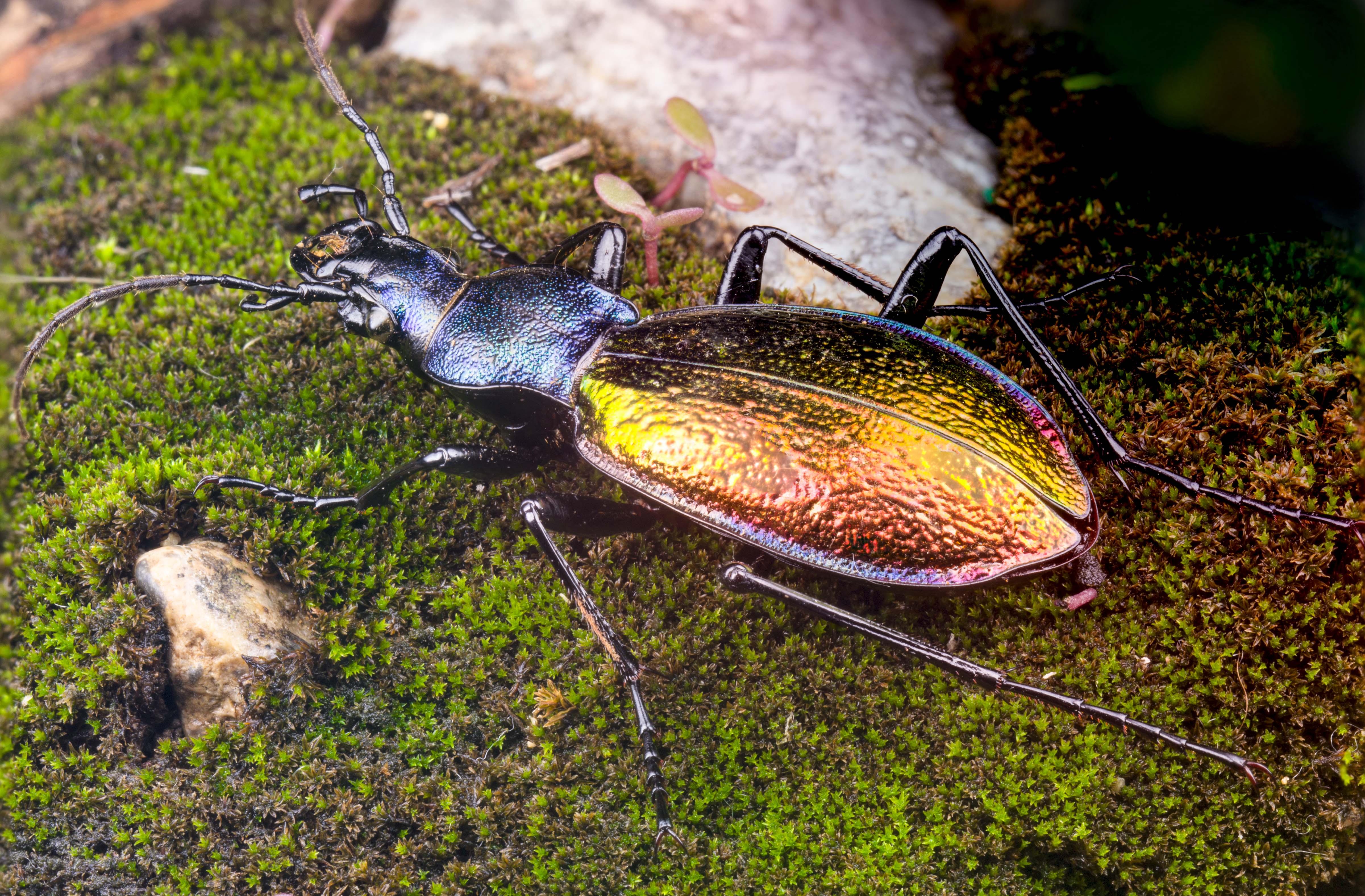 Carabus (chrysocarabus) hispanus