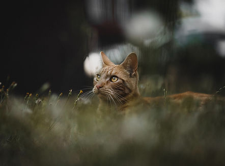 Intensely focused cat in the long grass