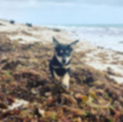 Happy puppy running through seaweed on the beach