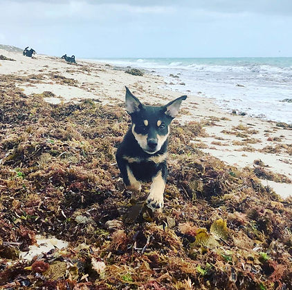 Happy puppy running through seaweed on the beach