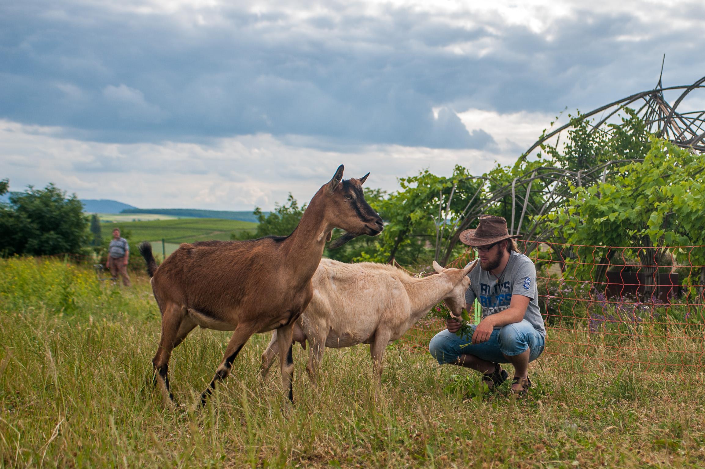 1406_goats_0078_kurz13cm