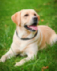 Labrador Retriever 2.jpg