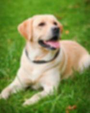 Labrador Retriever 2.jpg